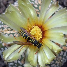 florafauna insekten hautfl gler immen emsen bienen. Black Bedroom Furniture Sets. Home Design Ideas